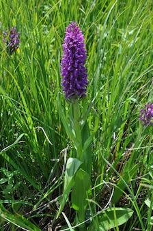 Foto vertical de uma bela orquídea unha do báltico na armênia