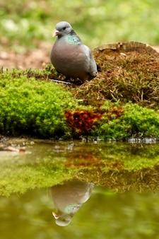 Foto vertical de uma bela pomba refletindo no lago