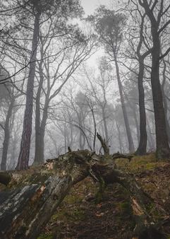 Foto vertical de uma floresta com longas árvores no meio do nevoeiro