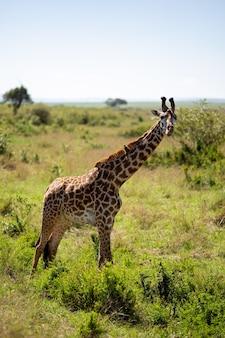 Foto vertical de uma girafa em uma pastagem