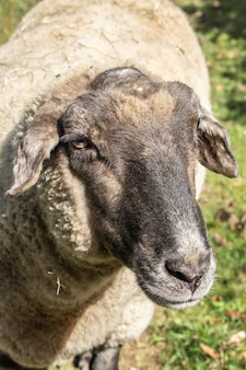 Foto vertical de uma ovelha na natureza