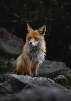 Foto vertical de uma raposa caminhando sobre rochas em uma floresta