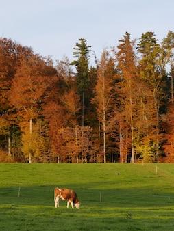 Foto vertical de uma vaca pastando perto de uma floresta outonal