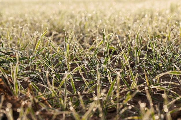 Fotografado de perto, plantas de grama jovem, trigo verde crescendo em campos agrícolas, agricultura, durante o amanhecer do sol, desfocagem