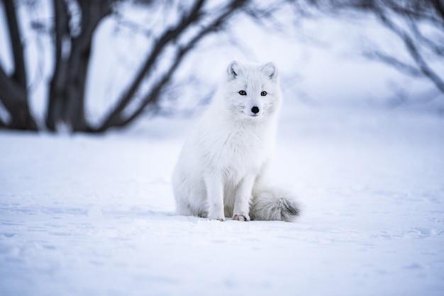 Fotografia de foco seletivo de lobo cinzento em campo de neve