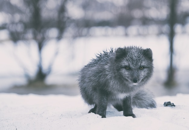 Fotografia de foco seletivo de lobo preto