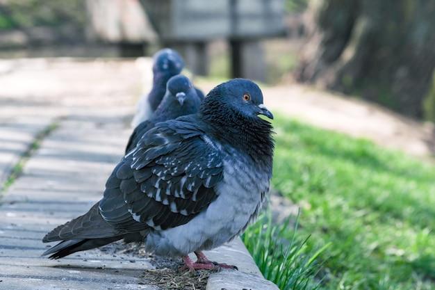 Fotografia de retrato de pombos selvagens urbanos na calçada perto do lago