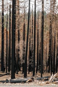 Fotografia de uma floresta de árvores queimadas após um incêndio. cores marrom preto e amarelo com tons ocres. as árvores são pinheiros