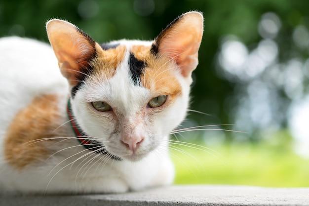 Fotografia do gato asiático