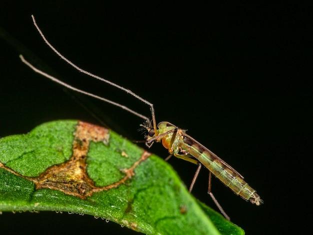 Fotografia feminina de um mosquito macho.