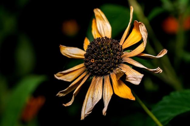 Fotografia macro de postal de arte de uma flor seca de outono em tons de amarelo e bordô em um fundo escuro