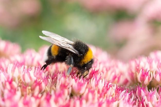 Fotografia macro de uma abelha se alimentando de uma flor de trevo vermelho.