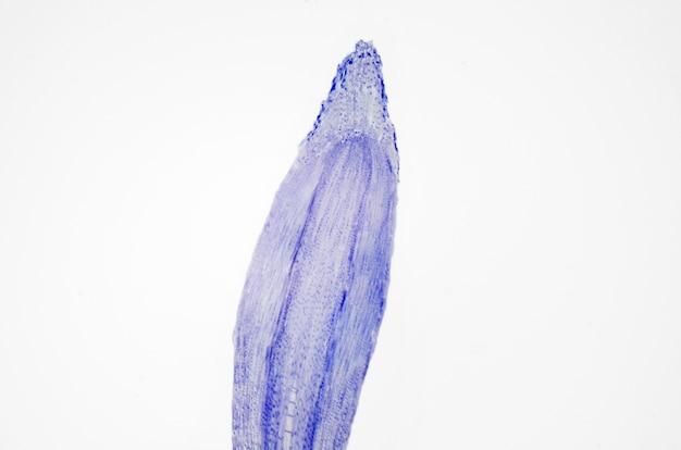 Fotografia microscópica. ponta da raiz da planta, seção longitudinal.