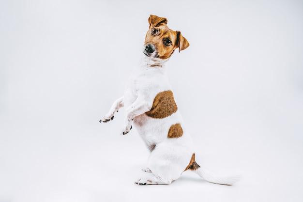 Fotografia stock branco e marrom, cão, raça, jack russell, tiro completo, ficar, branco