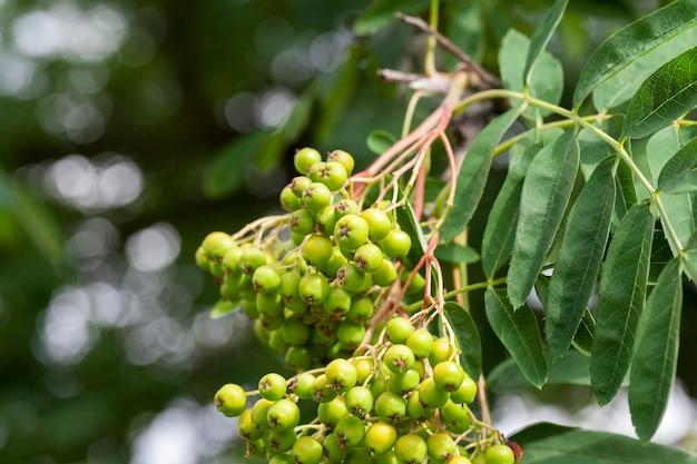 Fotos de close-up de sementes verdes de ashberry que ainda não estão maduras