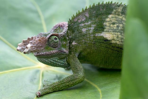 Fotos de close up do camaleão de fischer