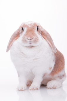 Fotos de estúdio de um coelho vermelho