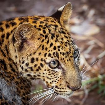 Fotos de leopardo naturalmente.