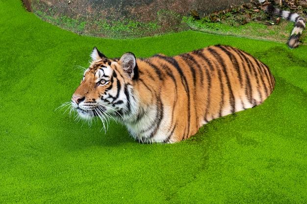 Fotos de tigre naturalmente.