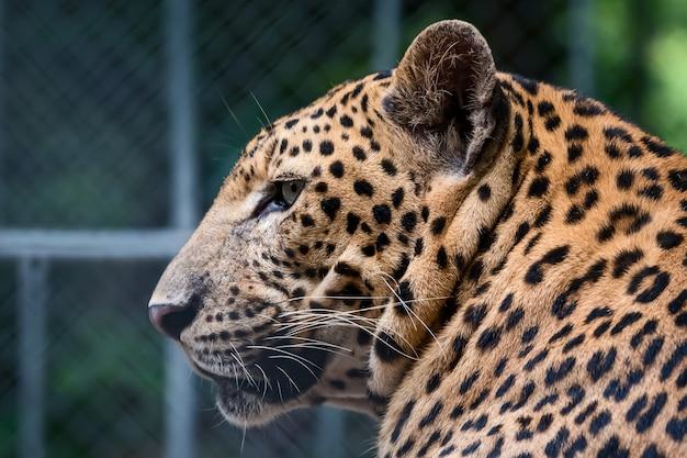 Fotos do leopardo naturalmente.