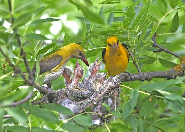 Fotos exclusivas de filhotes alimentando-se de ambos os pais oriole simultaneamente. macho e fêmea fecham.