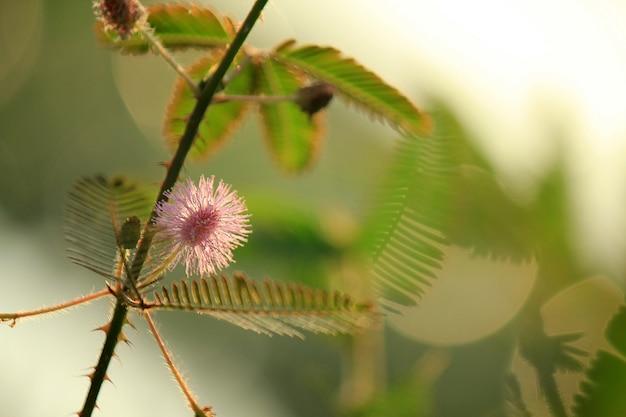 Fotos macro de mimosa pudica
