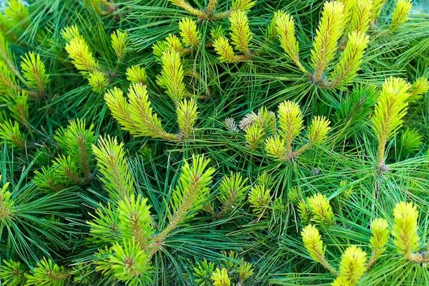 Fotos natural fundo ramo verde abeto