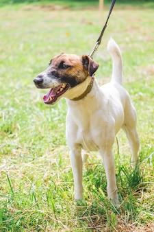 Fox terrier de pêlo liso na guia enquanto caminha pelo gramado_ Foto Premium