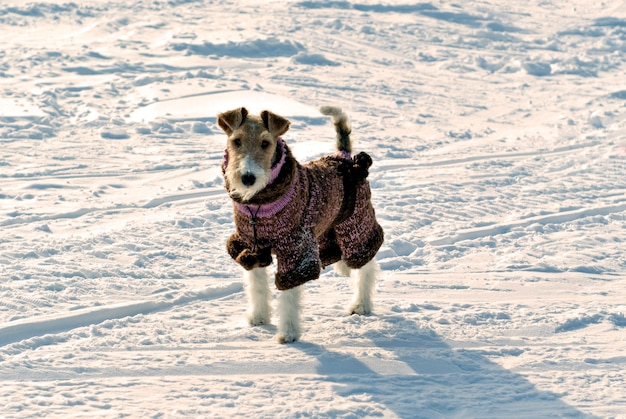 Fox terrier fofo com um macacão de lã tricotado de pé na neve