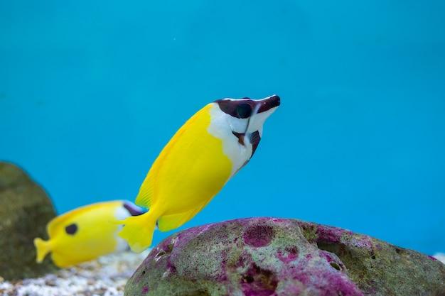 Foxface rabbitfish no oceano da tailândia