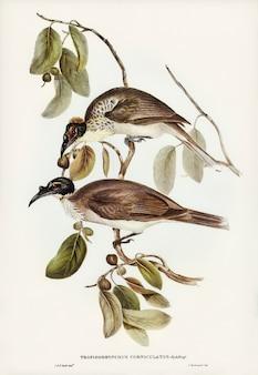 Frade bird (tropidorhynchus corniculatus) ilustrado por elizabeth gould