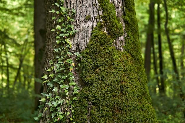 Fragmento de um velho tronco de árvore coberto de musgo e trepadeira