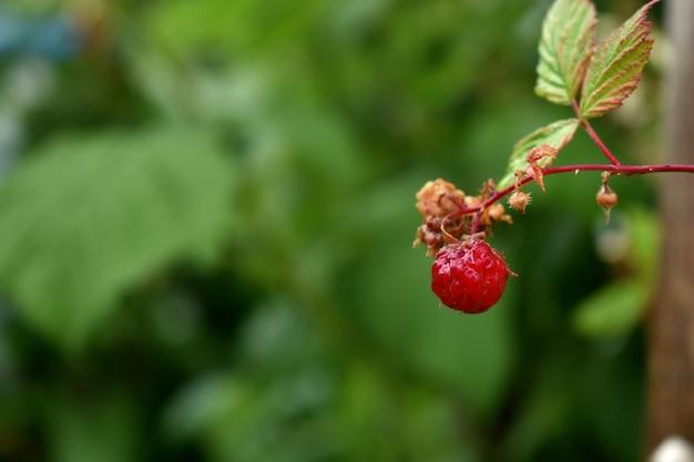 Framboesa bagas vermelhas no jardim
