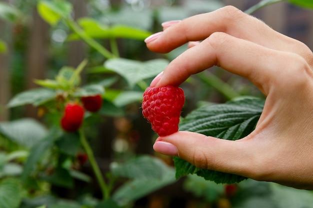Framboesa vermelha grande na mão no fundo do arbusto de framboesa