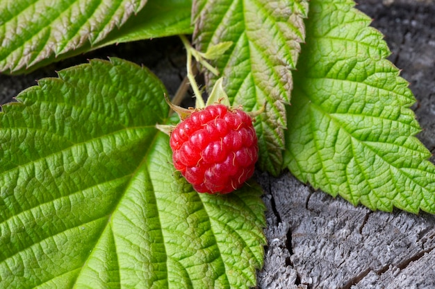 Framboesas frescas em um toco de floresta. framboesas vermelhas maduras e folhas verdes