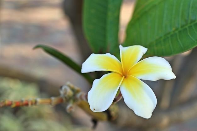 Frangipani branco de flores tropicais
