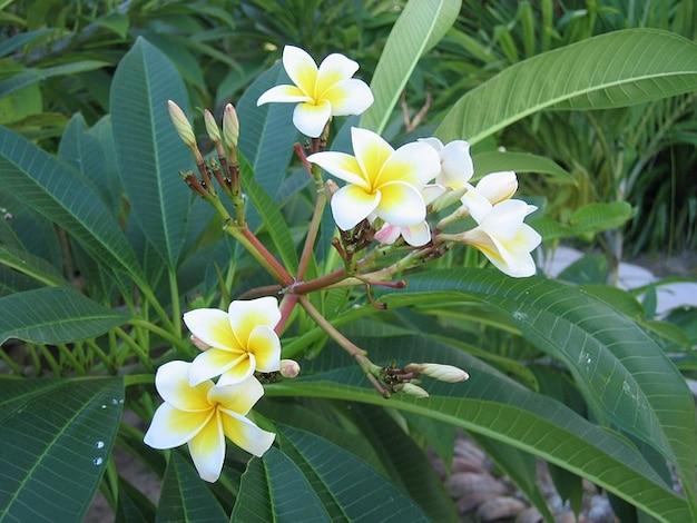 Frangipani flor flores de plantas