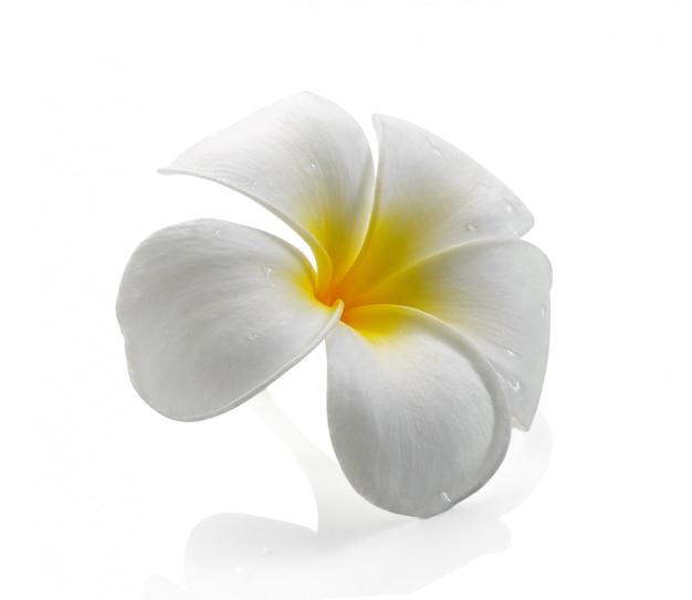 Frangipani flor isolado espaço em branco