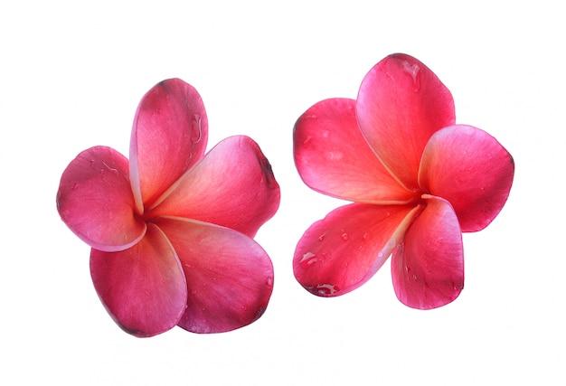 Frangipani flor isolado fundo branco