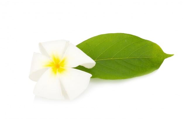 Frangipani flor. plumeria. isolado no fundo branco