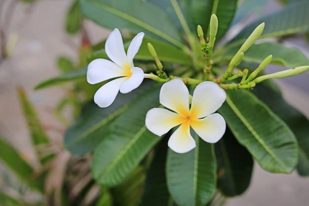Frangipani, flores de plumeria