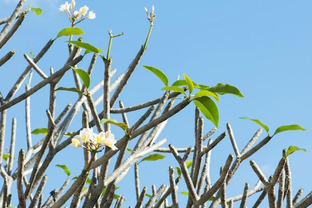 Frangipani flores desabrochando na árvore com céu azul