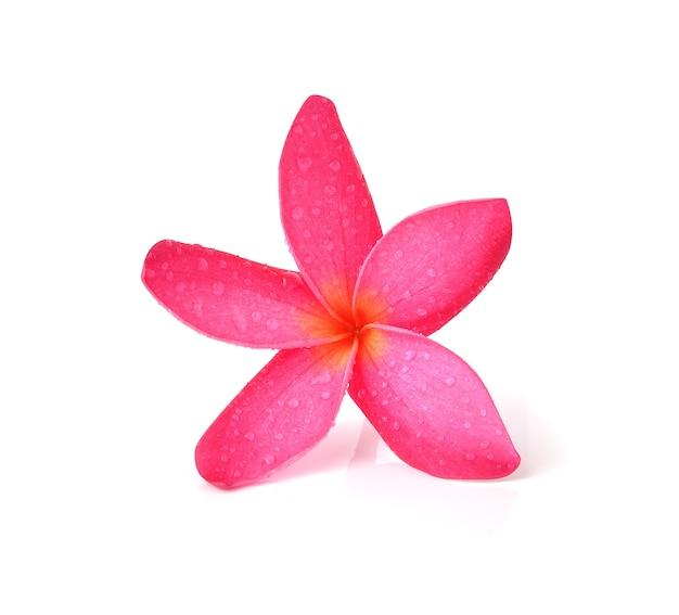 Frangipani tropical das flores (plumeria) isolado no fundo branco