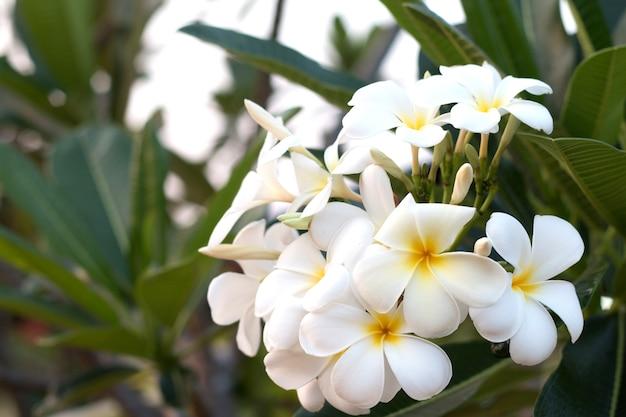 Frangipani tropical spa flower. plumeria flower on plant