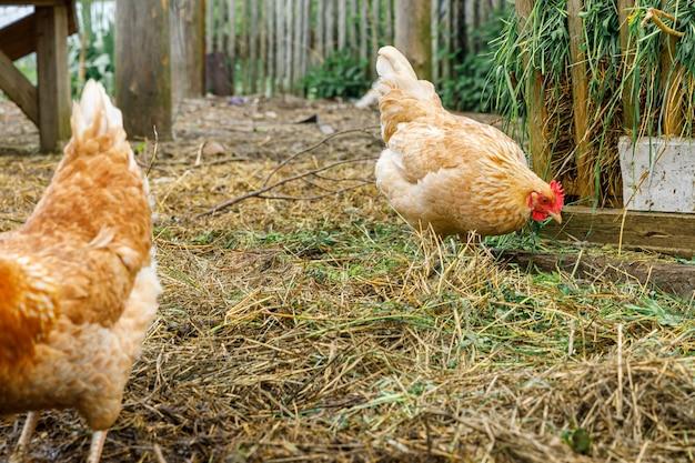 Frango ao ar livre na fazenda de animais orgânicos pastando livremente no quintal no fundo do rancho galinhas gr ...