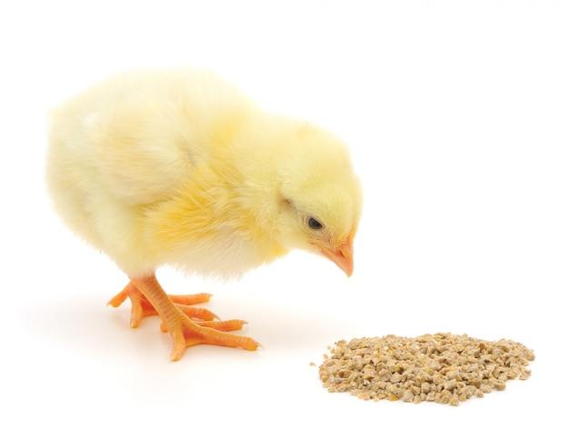 Frango bebê tendo uma refeição