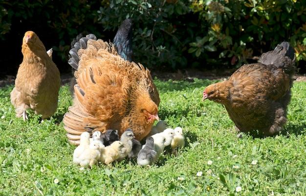 Frango brahma e filhotes