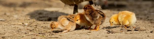 Frango com seus filhotes em uma fazenda