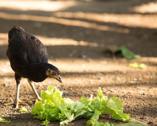 Frango comendo vegetais