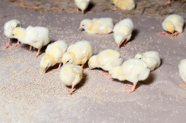 Frango de carne branca geneticamente modificado em uma granja, cultivada como uma empresa para produzir uma grande quantidade de carne de frango de frango de qualidade, close-up